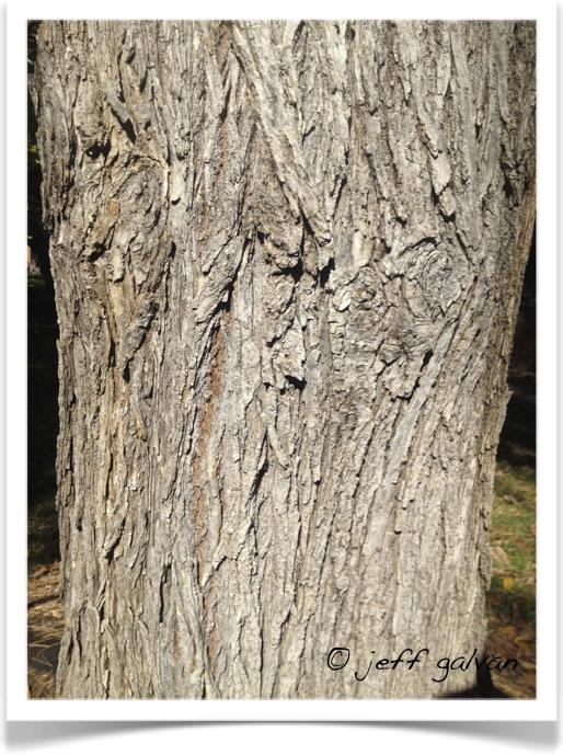 Ulmus Americana Twig American Elm – Bark ...