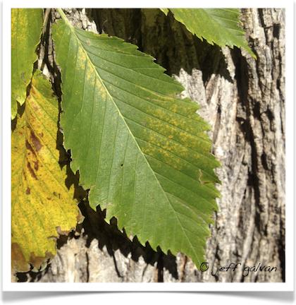 American Elm Tree Identification