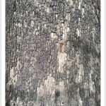 American Sycamore - Platanus occidentalis -American Sycamore - Platanus occidentalis - Identify by Bark