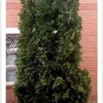 American Arborvitae Tree