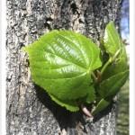 American linden leaf and bark