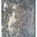 American sycamore - Identify by Bark