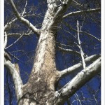 American sycamore - Platanus occidentalis - Branches - Vertical
