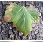 American sycamore - identifying by leaf