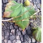 American sycamore - Platanus occidentalis - Leaf - Bark - Fruit -Twig