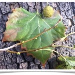American sycamore - Platanus occidentalis - Leaf - Fruit - Leaf Scars