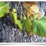 American sycamore - Platanus occidentalis - Leaves - Bark - Fruit