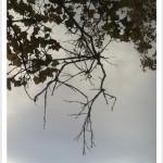 American sycamore - Platanus occidentalis - Twigs
