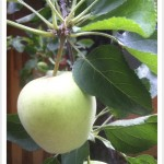 Apple - Malus - Fruit - Leaves