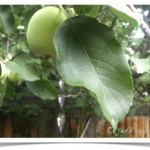 Apple - Malus - Identifying by Leaf