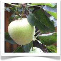 Apple Trees 2012