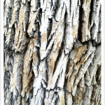 Green Ash Tree Bark