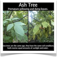 Ash Tree Yellow Leaves Dying