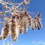 Aspen flowers are called catkins and are small, fluffy and silver colored.