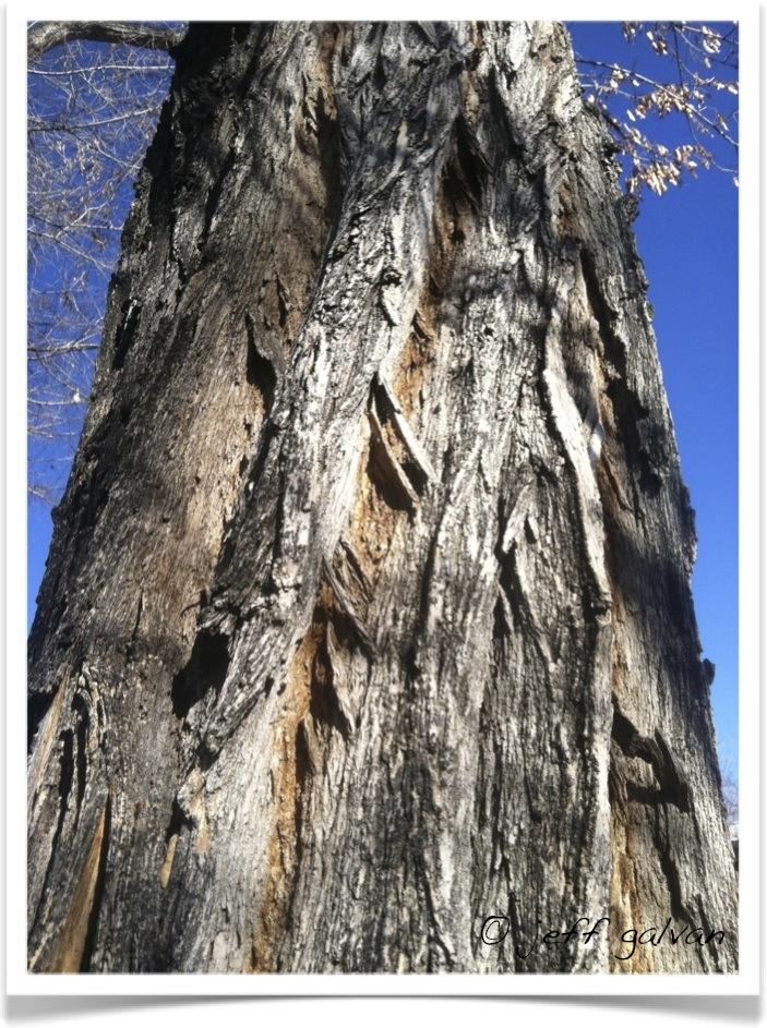 Black Locust Furrowed Bark   Boulder Tree Care - Pruning ...