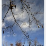Black Locust Branches
