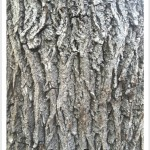Black Walnut - Identify by Bark