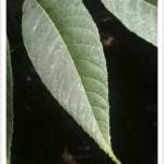 Black Walnut - Julans nigra - Leaf