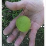 Black Walnut - Julans nigra - Walnut