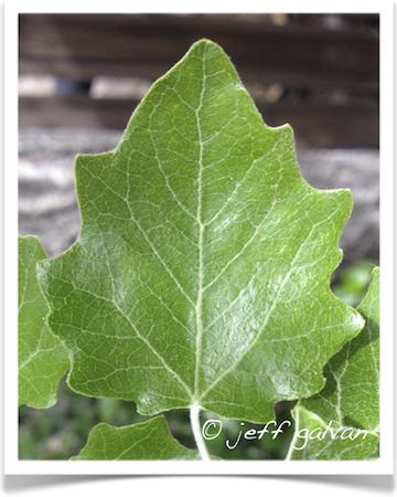 Bolleana Poplar Populus alba Tree Identification
