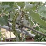 Poplar, Bolleana - Seeds