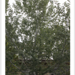Bolleana Poplar Growth Pattern