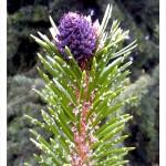 bristlecone pine purple cone