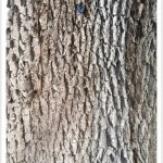Bur Oak - Quercus macrocarpa - Bark - Mature