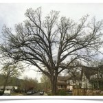 Bur Oak - Quercus macrocarpa - Canopy April