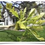Bur Oak - Quercus macrocarpa - Leaves April