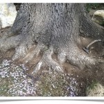 Bur Oak - Quercus macrocarpa - Trunk Base