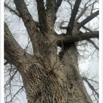 Bur Oak - Quercus macrocarpa - Trunk