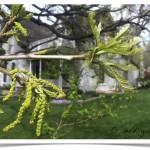 Bur Oak - Quercus macrocarpa - Twig - Catkins