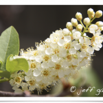 Chokecherry with small white fowers.
