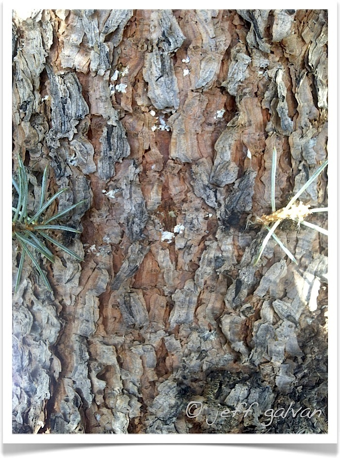 Colorado Blue Spruce Bark | Boulder Tree Care - Pruning ...