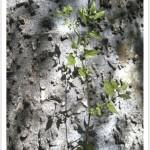Common Hackberry - Identify by Bark