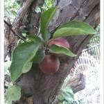 Crabapple - Malus - Fruit - Leaves - Bark