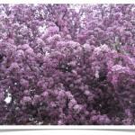 Crabapple - Malus Full Blossom