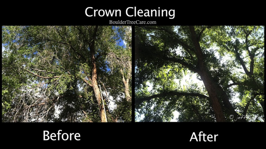 Crown Cleaning - Siberian elm