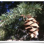 Douglas fir - identifying by needles and cone