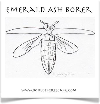 Emerald Ash Borer in Colorado