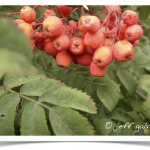 Mountain-ash, European ~ Fruit