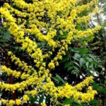 Goldenraintrees have many yellow flowers.