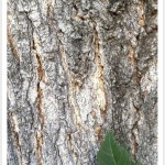 Goldenraintree bark