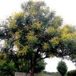Goldenraintree Growth Pattern