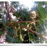 Goldenraintree stems