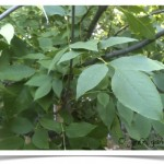 Green Ash - identifying by leaf