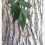 Green Ash - Fraxinus pennsylvanica - Leaves and Bark