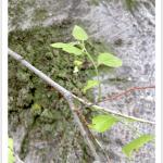 Hackberry, Common ~ Twig