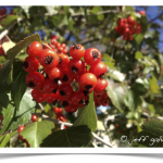 Hawthorn's have bright red fruit called Haws.